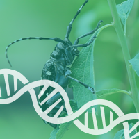 Asian Long Horned Beetle Genome