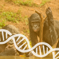 Interbreeding-Occurred--Between-Chimpanzees-and-Bonobos