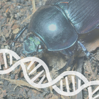 Cyclops Beetles Give Insight Into New Evolutionary Traits