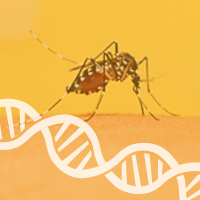 Genetics Explains Whether Mosquitoes Prefer Feasting on Humans or Cattle